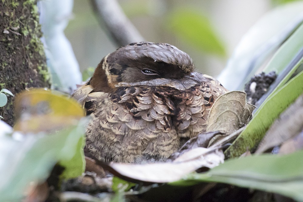 Collared Nightjar