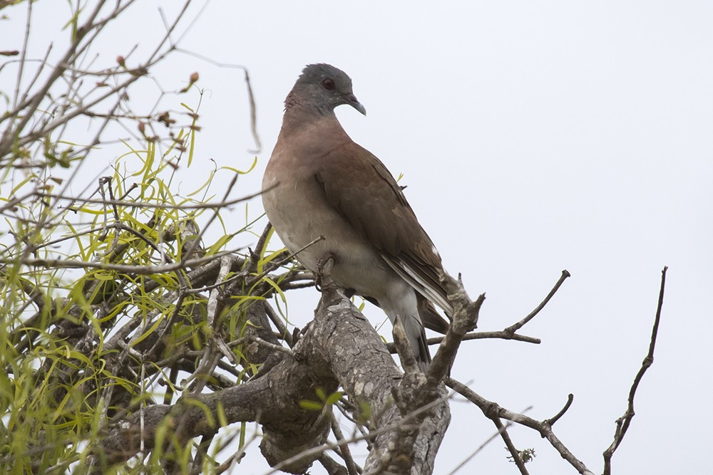 Madagascar Turtle Dove