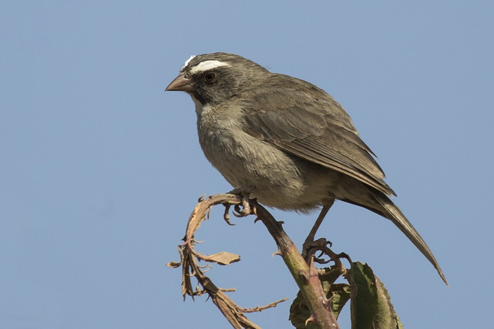 Brown-rumped Seedeater