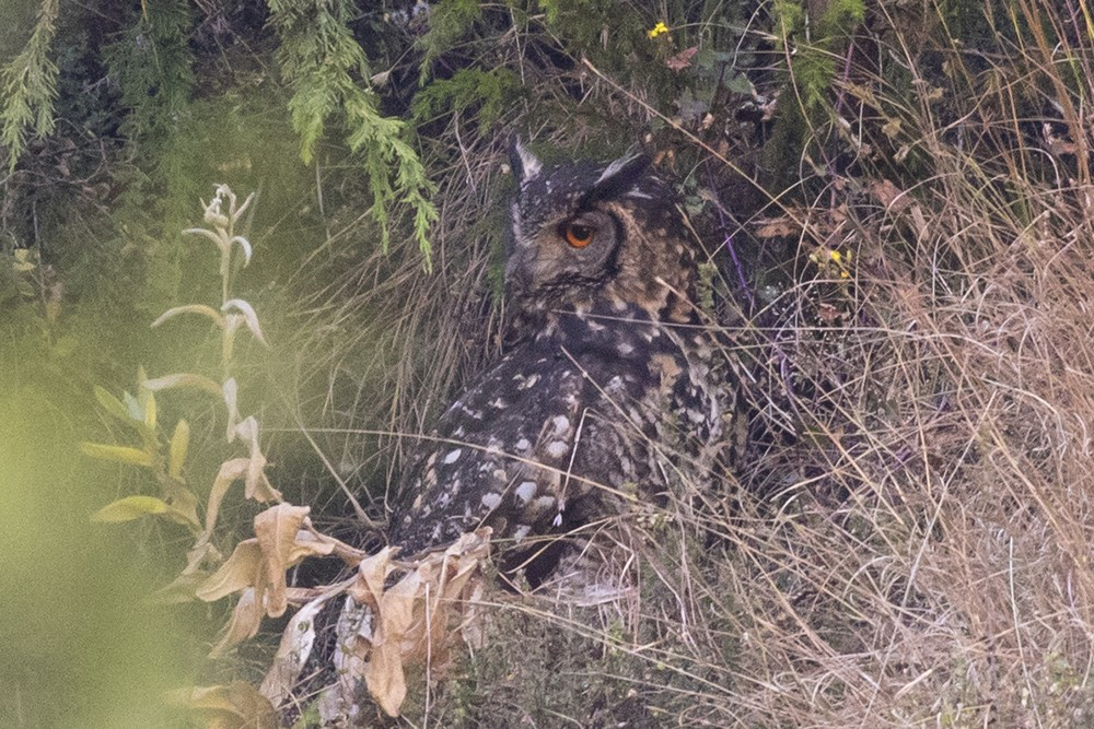 Cape Eagle Owl
