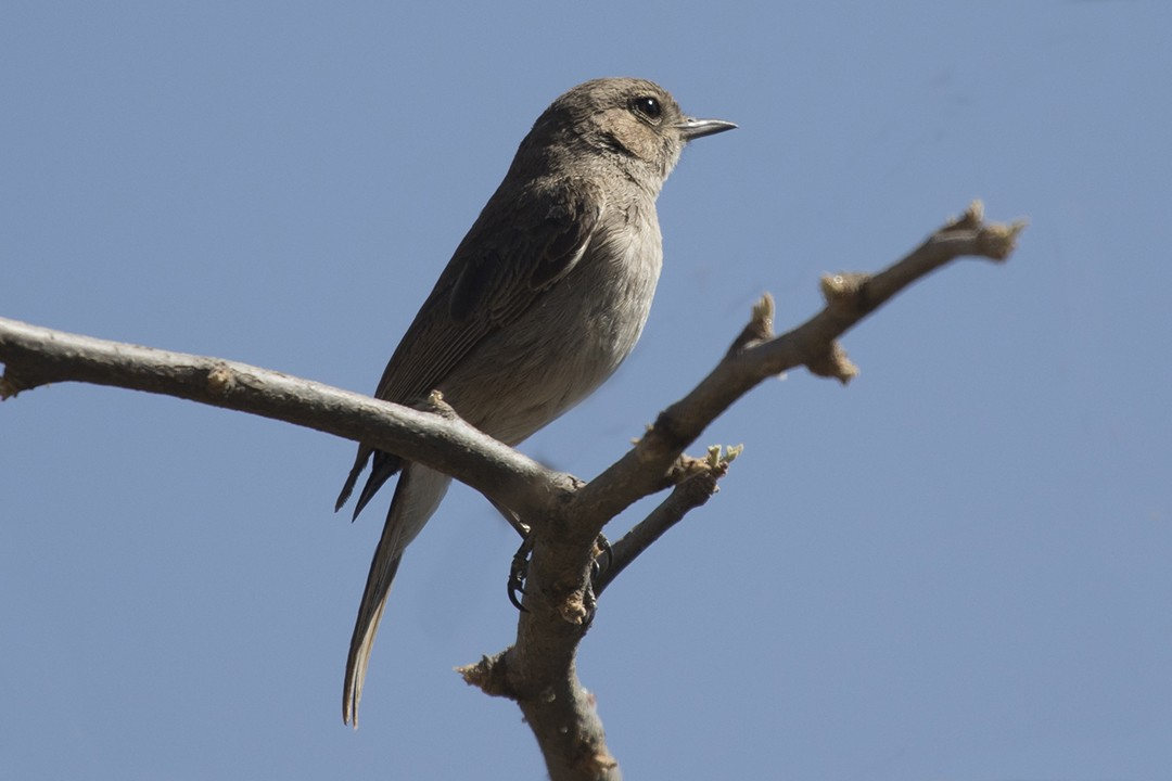 Brown-tailed Rock Chat