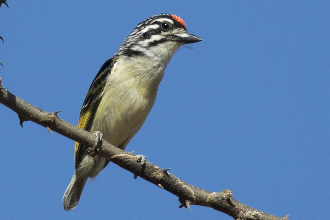 Red-fronted Tinkerbird