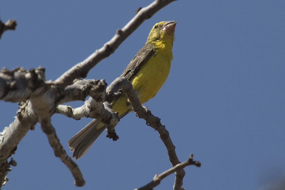 Northern Grosbeak-Canary