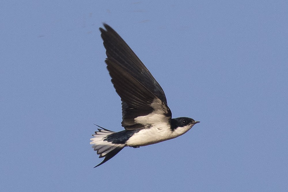 White-tailed Swallow