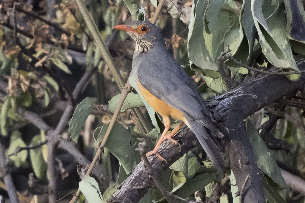 Bare-eyed Thrush