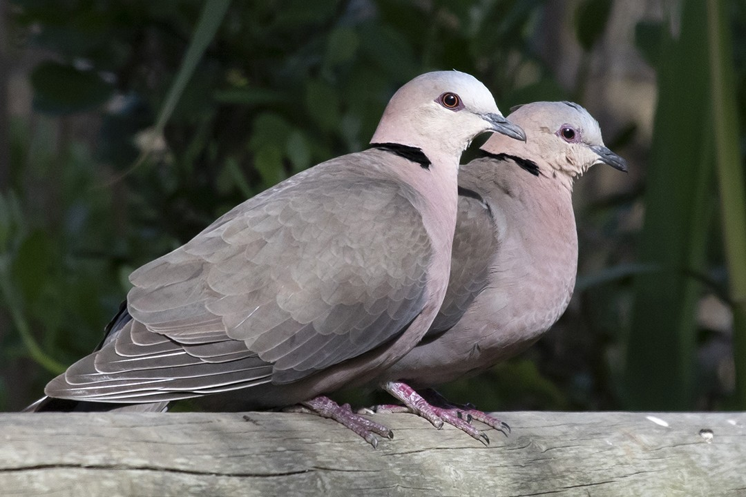 Red-eyed Doves