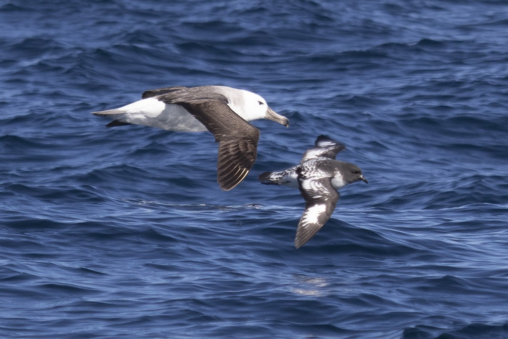 Black-browed Albatross with Cape Petrel
