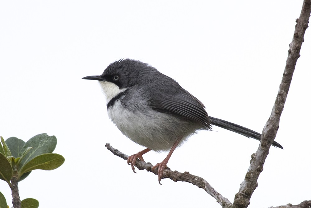 Bar-throated Apalis