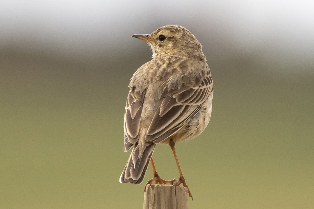 African Pipit
