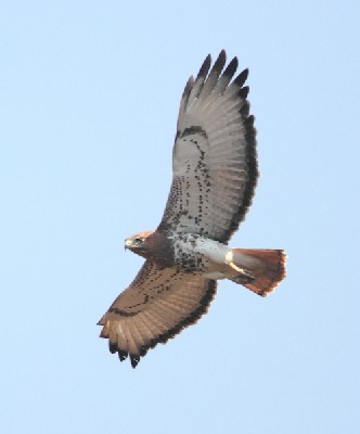 Red-necked Buzzard in flight