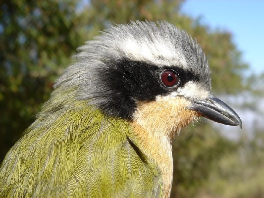 Young adult male Olive Bush-Shrike