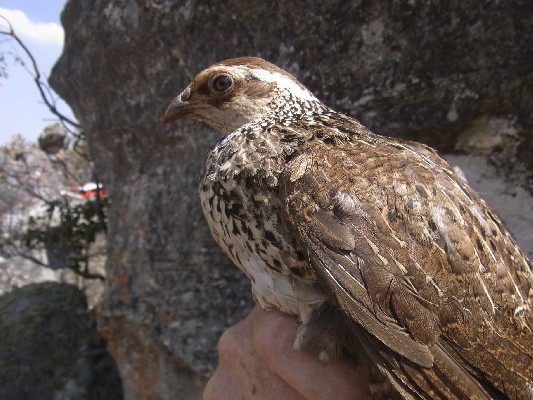 Swierstra´s Francolin no 1 in hand