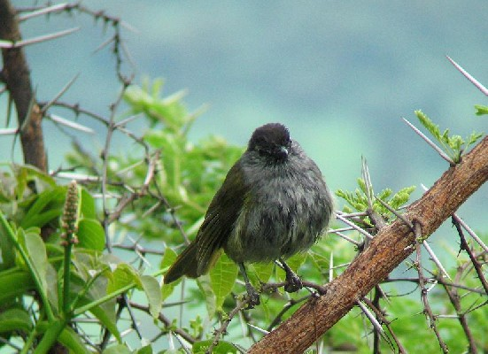 Black-capped Mountain Greenbul