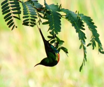 Beautiful Sunbird , Abyei ( Sudan )
