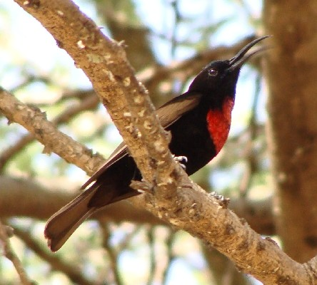 Male Scarlet-chested Sunbird displaying