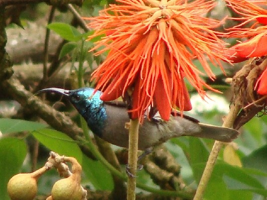 Green-headed Sunbird at Gisakura Guesthouse