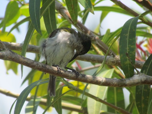 Green-headed Sunbird preening