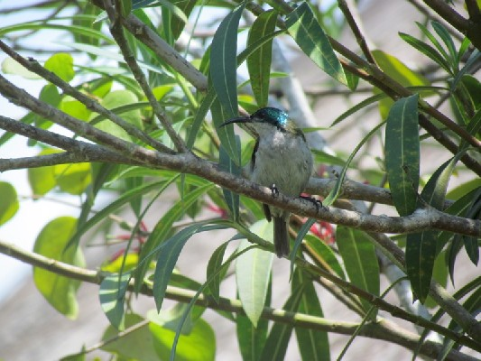 Green-headed Sunbird on branch