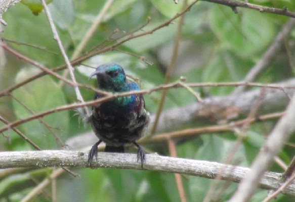 Young Purple-banded Sunbird moulting into the adult feathers