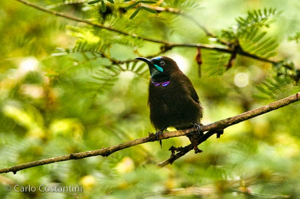Green-throated Sunbird
