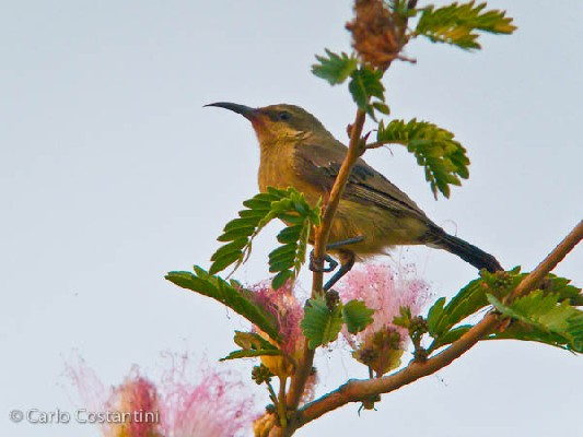 Orange-tufted Sunbird