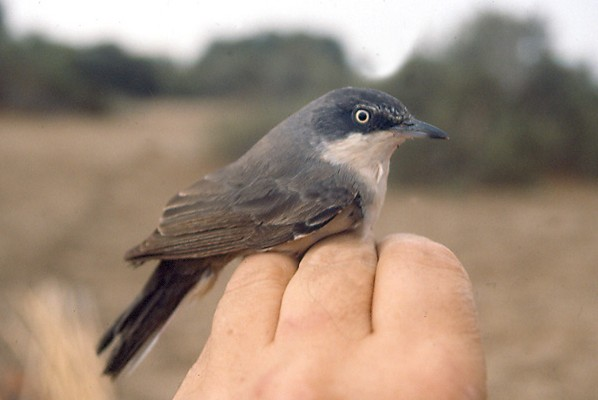 Orphean Warbler - in the hand