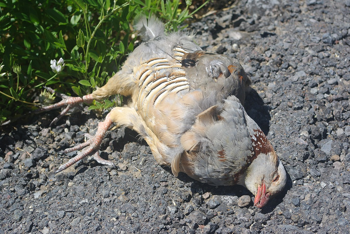 Barbary Partridge - dead