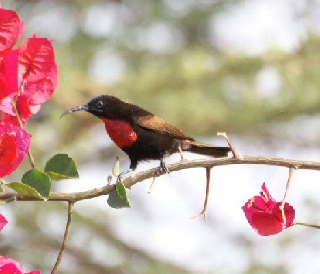 Scarlet-chested Sunbird, Ethiopia