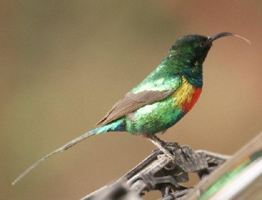 Beautiful Sunbird, Ethiopia