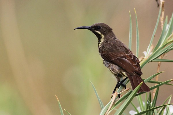 Scarlet-chested Sunbird - ssp Proteus. Immature female