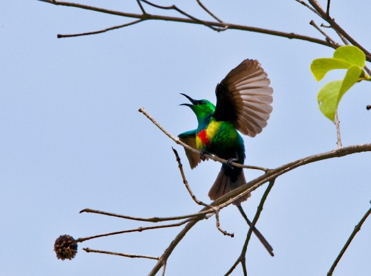 beautiful sunbird
