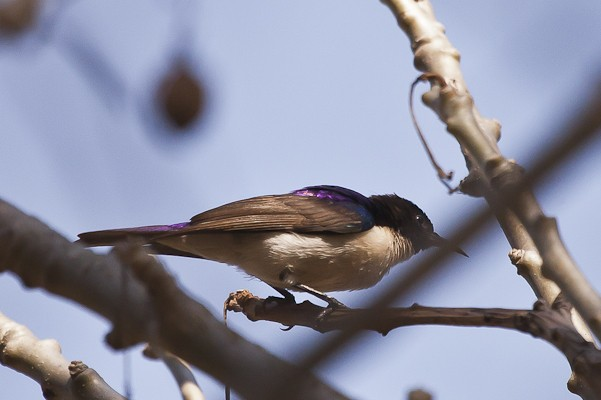 western violet-backed sunbird