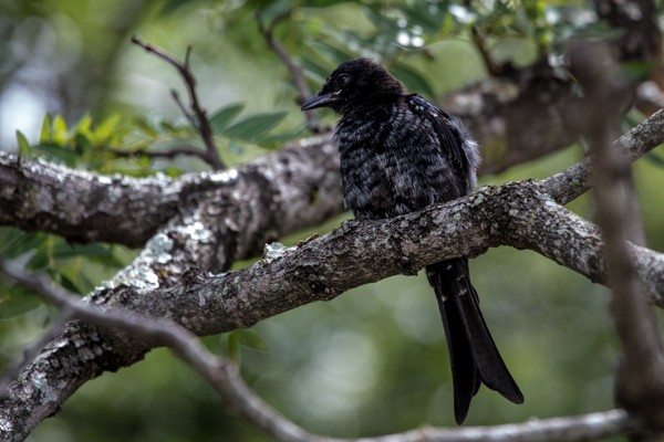 fork-tailled drongo