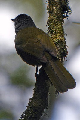 Uluguru Greenbul seen well during the 2005 Birdquest Eastern Tanzania tour