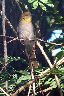 Falkenstein's Greenbul seen exceptionally well on the 2005 Birdquest Angola tour