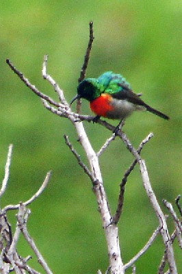 Montane Double-collared Sunbird seen well during the 2005 Birdquest Angola tour