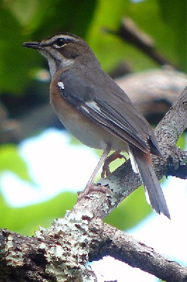 Miombo Scrub Robin seen exceptionally well on the 2005 Birdquest Angola tour