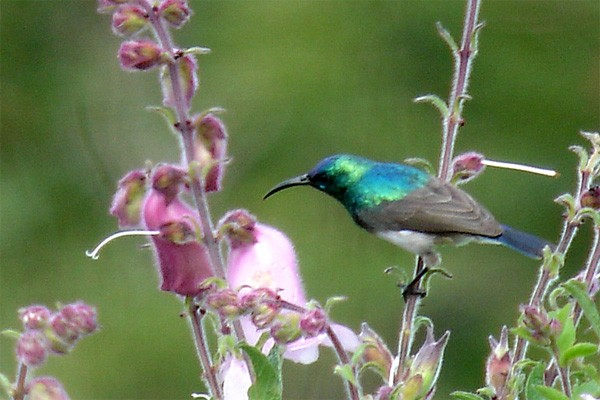 Oustalet's Sunbird seen exceptionally well on the 2005 Birdquest Angola tour