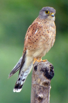 Rock Kestrel seen well during the 2005 Birdquest Angola tour