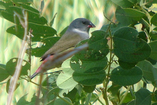 Angolan Waxbill seen exceptionally well on the 2005 Birdquest Angola tour