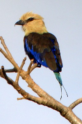 Blue-bellied Roller seen well during the 2006 Birdquest Gambia & Senegal tour