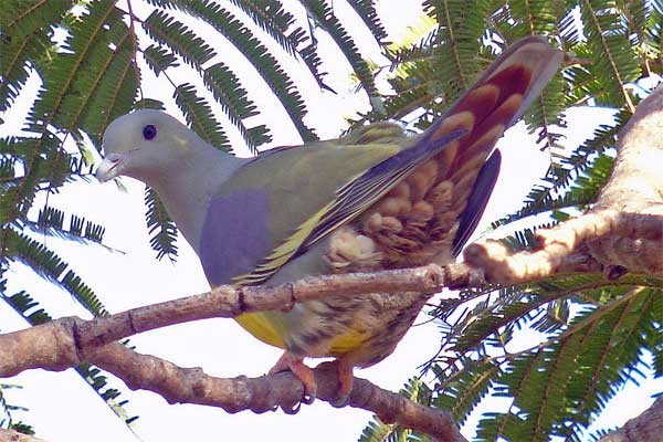 Bruce's Green Pigeon seen well during the 2006 Birdquest Gambia & Senegal tour