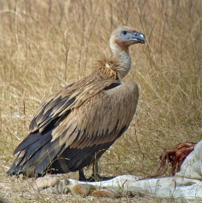 Eurasian Griffon Vulture seen well during the 2006 Birdquest Gambia & Senegal tour