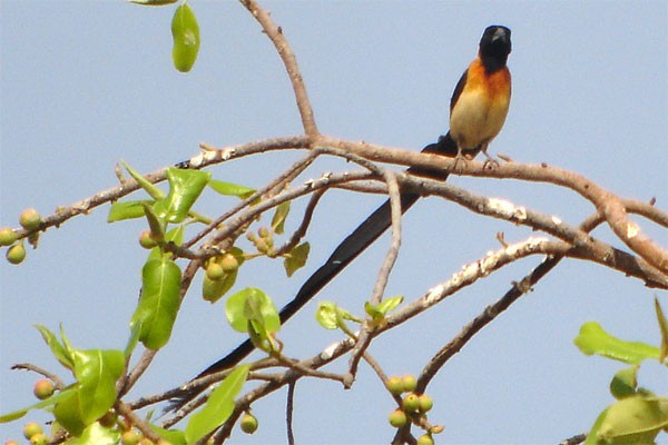 Exclamatory Paradise-Whydah seen well during the 2006 Birdquest Gambia & Senegal tour