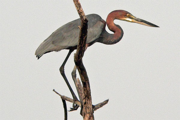 Goliath Heron seen well during the 2006 Birdquest Gambia & Se