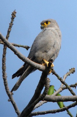 Grey Kestrel seen well during the 2006 Birdquest Gambia & Senegal tour