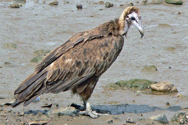 Hooded Vulture seen well