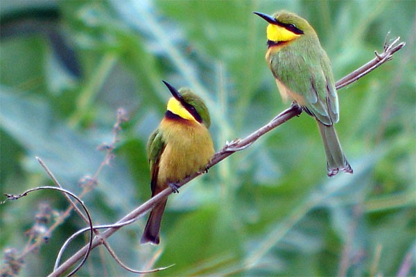 Little Bee-eaters seen well during the 2006 Birdquest Gambia & Senegal tour