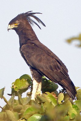 Long-crested Eagle seen well during the 2006 Birdquest Gambia & Senegal tour