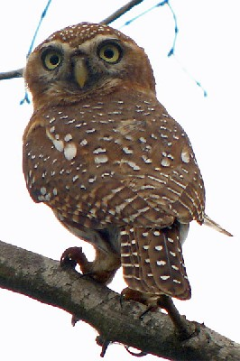 Pearl-spotted Owlet seen well during the 2006 Birdquest Gambia & Senegal tour